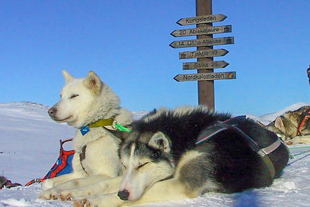 Sleddogs resting on a tour in the Swedish mountain on the kingstrail