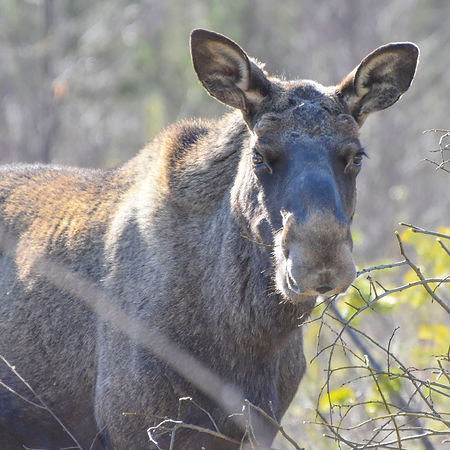 Moose on the way to Laplandhusky in Swedish Lapland