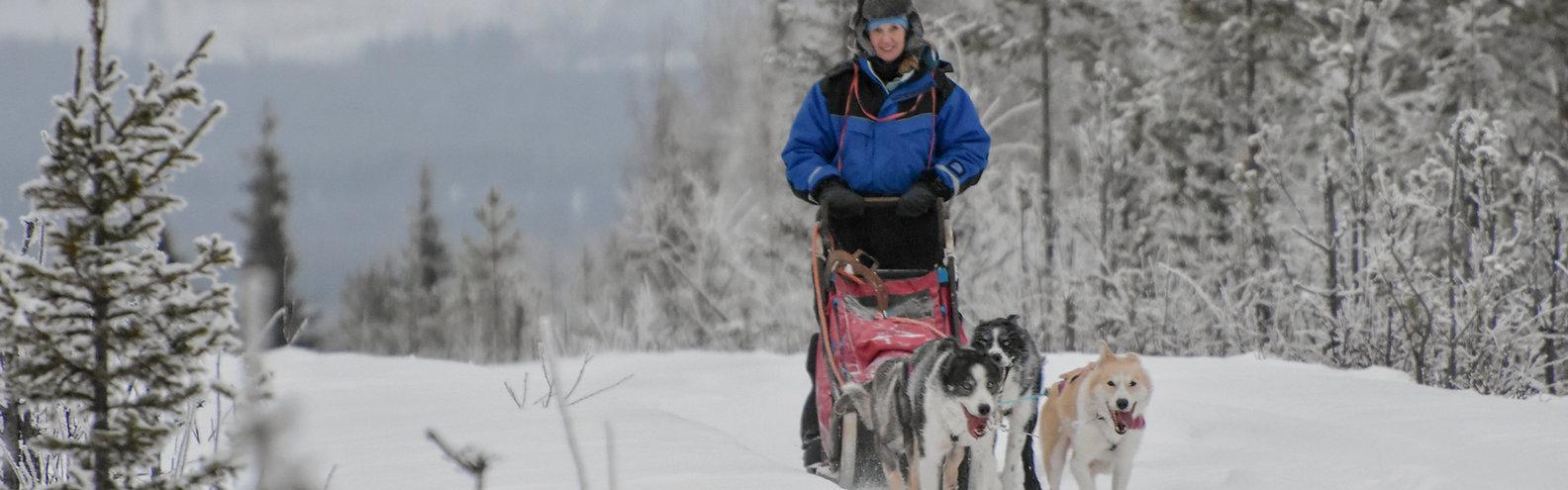 Sleddog team on a self drive husky full day tour at Laplandhusky in Swedish Lapland