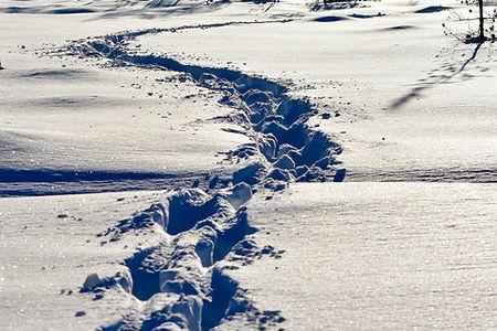 Moose tracks in winter lanscape at Laplandhusky in Swedish Lapland