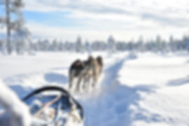Sleddog team on a self drive husky full day tour at Laplandhusky in Swedish Lapland