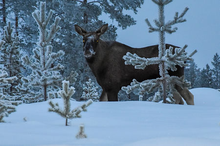Moose in winter lanscape at Laplandhusky in Swedish Lapland