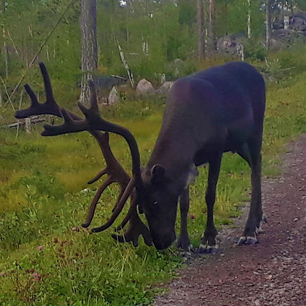 Reindeer on the way to Laplandhusky in Swedish Lapland