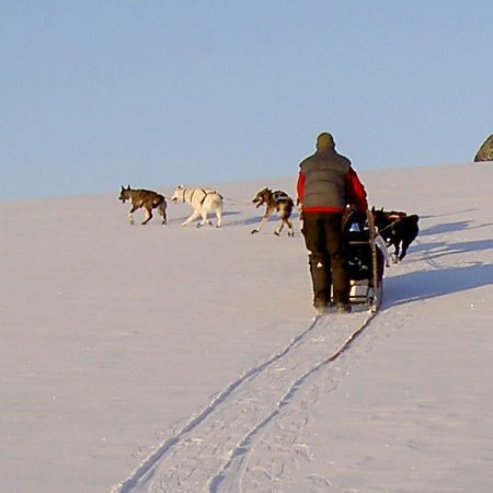 Dogsledding at Laplandhusky in the Swedish mountain.