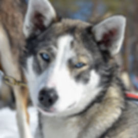 Alaskan husky kråkan at Laplandhusky in Swedish Lapland