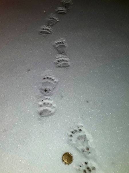 Foot print of brown bear during husky training week at Laplandhusky in Swedish Lapland