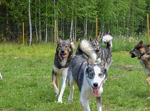 Summer activities husky holiday at Laplandhusky in swedish Lapland