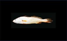 pescada amarela.png
