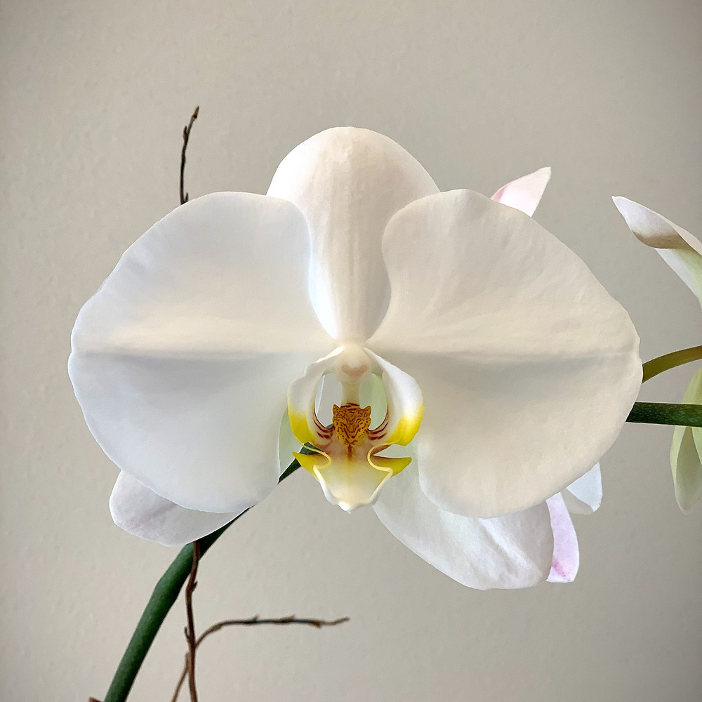 Picture of a Phalaenopsis Orchid