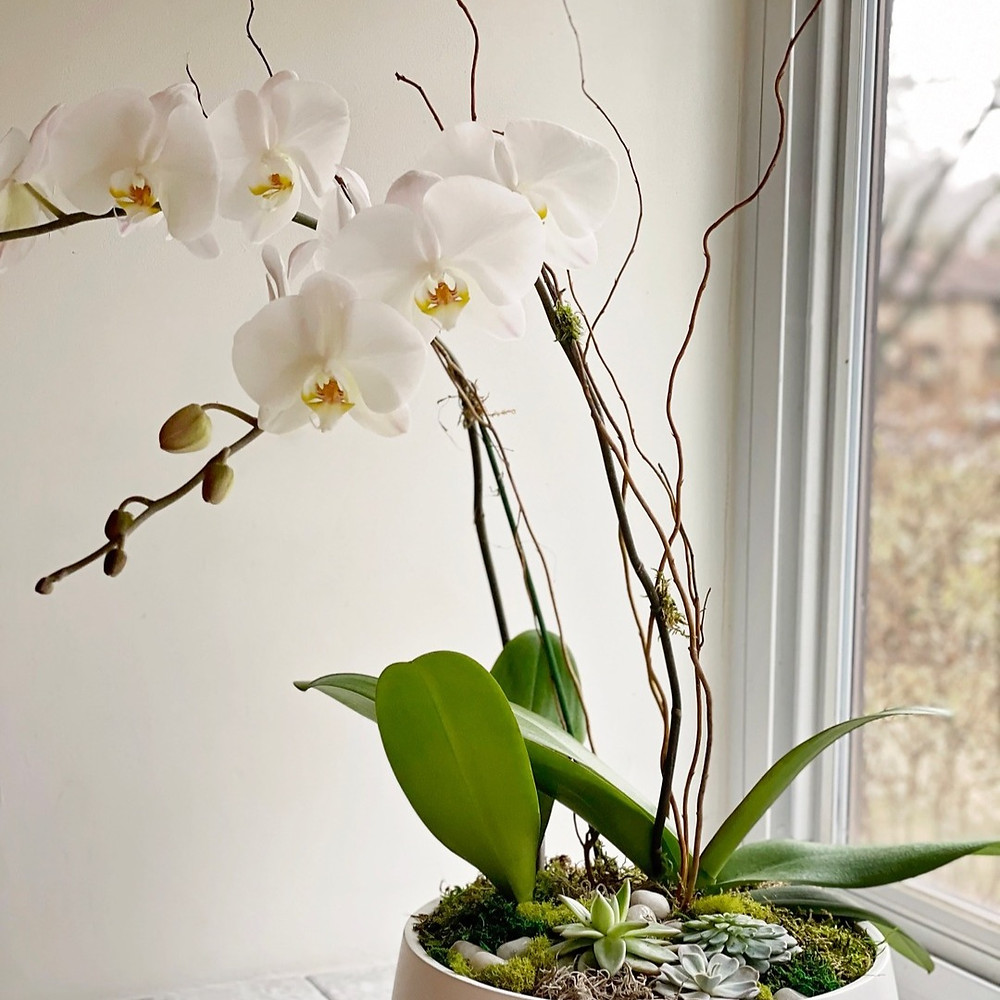 Two stem orchid with succulents in a vase