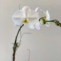 Close up white orchid