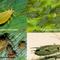 A cirok növényvédelme - kártevők I.