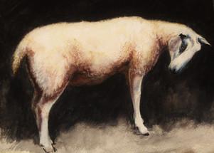 White Sheep 2015