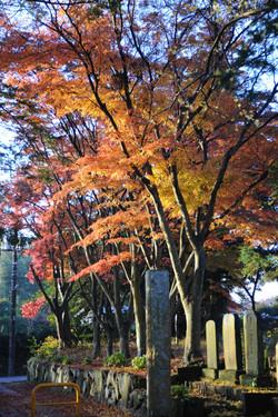 参道の紅葉並木