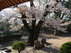 樹齢500年の山桜