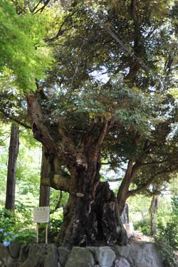 樹齢600年の椎の木