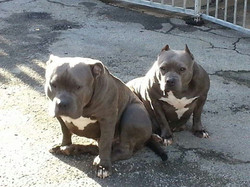 Lionheart´s Tank with his mother (RIP) ´best Pocket Lowedgebullies`Neela