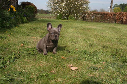Lionheart's blue Frenchies