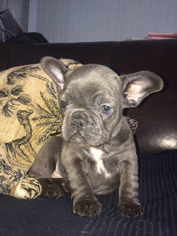 Last blue Frenchie male for sale
