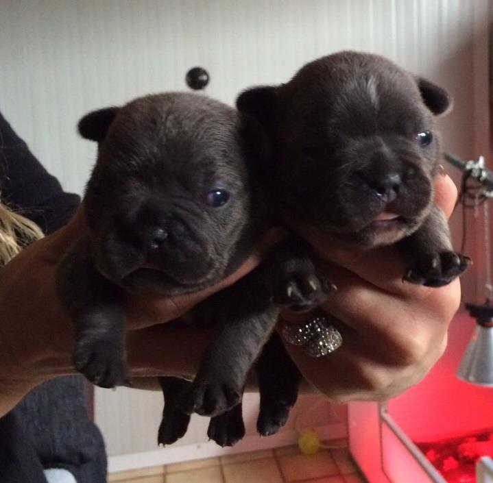 Blue Frenchies. for sale