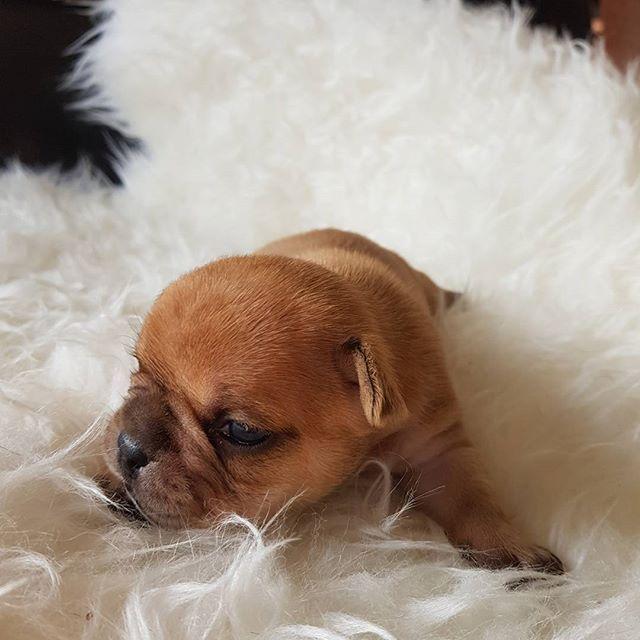 #urajirofrenchie #colorsplash #colouredfrenchbulldogs #forsale #dogoftheday