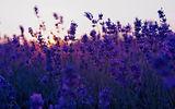 purple flowrs.jpg
