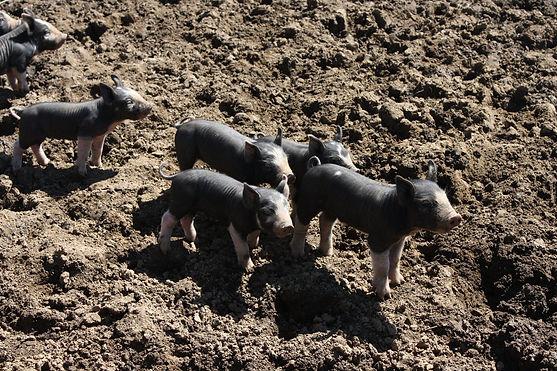 Piglets-5.jpg