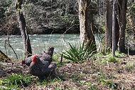 River Chickens.jpg