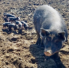 Piglets-4.jpg