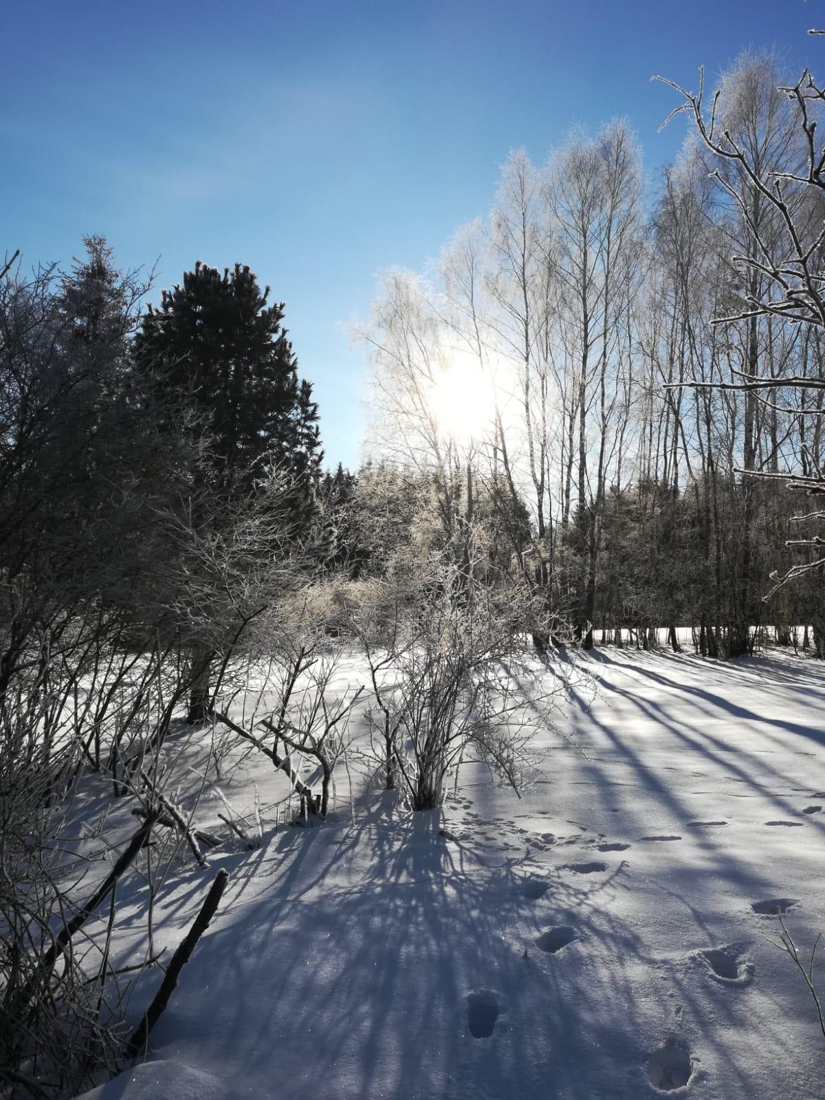 Winter Birken sonnig.jpg