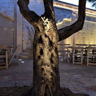 גזע עץ הזית מואר