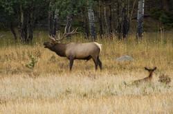 Elk V