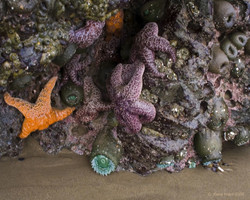 Sea Stars and Sea Anemones