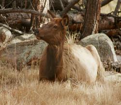 Elk III