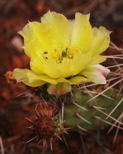 Prickley Pear 1