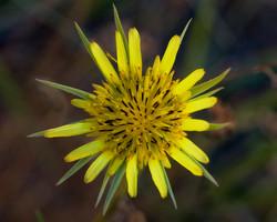 Yellow Salsify 1