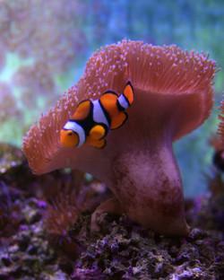 Clown Fish III