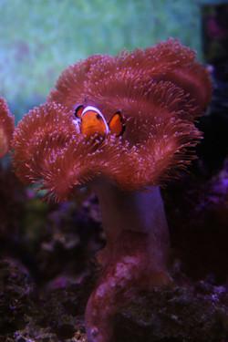 Clown Fish I