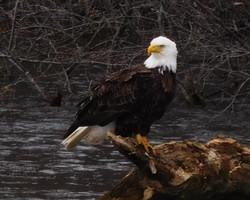 Eagle on a log