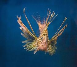Lion Fish II