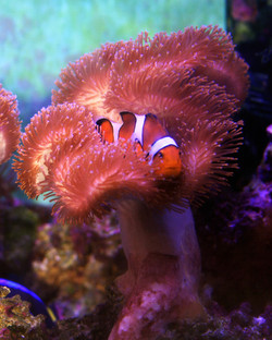 Clown Fish II