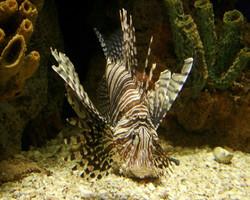 Lion Fish I