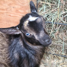 Doeling $425 Blue eyes, moonspots, dark buckskin - Trinity and Indigo Breeding