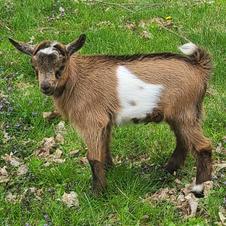 Buckling $200 - not registered - Lilly and Indigo breeding