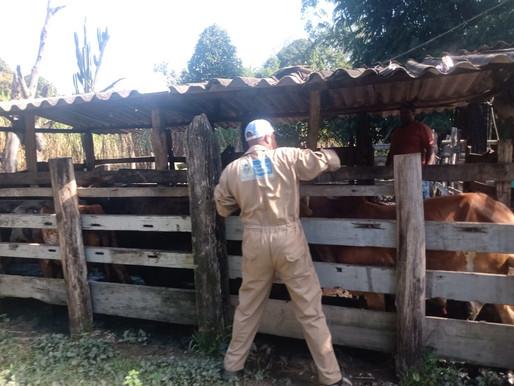 Belford Roxo vacina bovinos e bubalinos