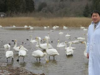 柏崎市西山町の大池の白鳥