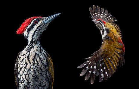 Common Flameback Woodpecker_Flying - boo
