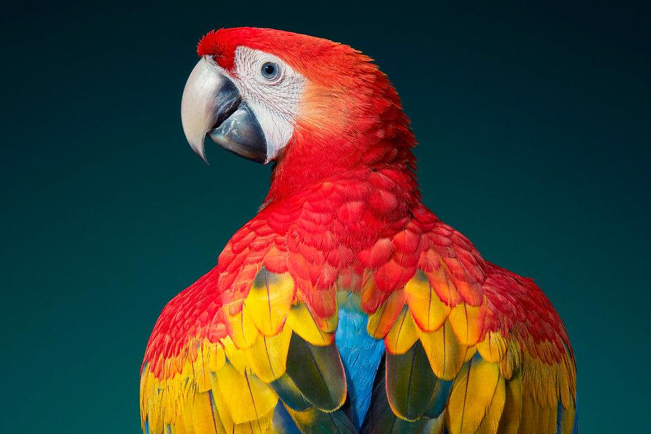 A_Scarlet Macaw_36x24_300dpi.jpg