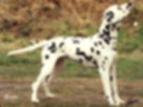kate-dalmatian.jpg