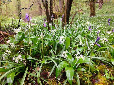 Wild Garlic in abundance on Dartmoor
